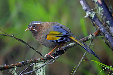 White-whiskered Laughingthrush (Trochalopteron morrisonianum) adult, perched on twig, Anmashan, Central Taiwan, May  -  John Holmes/ FLPA