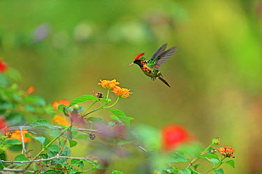 Tufted Coquette (Lophornis ornatus) adult male, in hovering flight, feeding at flowers, Trinidad, Trinidad and Tobago, April  -  Robin Chittenden/ FLPA