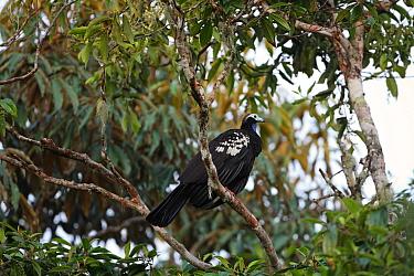 Trinidad Piping-guan (Pipile pipile) adult, perched on branch, Trinidad, Trinidad and Tobago, April  -  Robin Chittenden/ FLPA