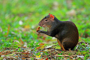 Red-rumped Agouti (Dasyprocta leporina) adult, feeding, sitting on leaf litter, Trinidad and Tobago, March  -  Robin Chittenden/ FLPA