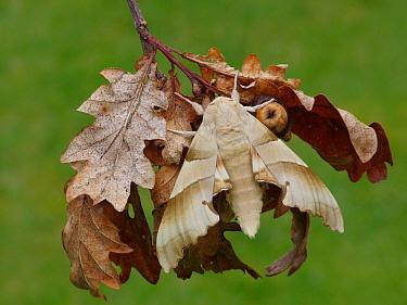 Oak Hawkmoth (Marumba quercus) adult, resting on dry oak leaves, Corsica, France, April  -  Gianpiero Ferrari/ FLPA