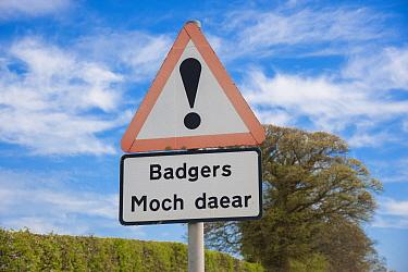 Eurasian Badger (Meles meles) crossing bilingual warning sign on roadside verge, Denbighshire, Wales, April  -  John Eveson/ FLPA