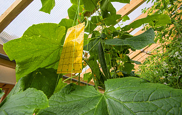 Cucumber (Cucumis sativus) crop, with sticky flypaper, growing in hydroponics unit, Todmorden, West Yorkshire, England, April  -  John Eveson/ FLPA