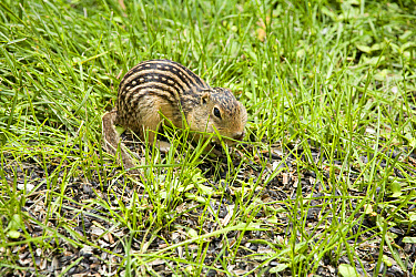 Thirteen-lined Ground Squirrel (Ictidomys tridecemlineatus) adult, filling cheek pouches, feeding on seeds spilt from birdtable in garden, North Dakota, U.S.A., June  -  Daphne Kinzler/ FLPA