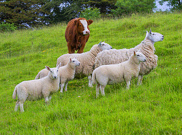 Domestic Sheep, North Country Cheviot, ewes with lambs, with Domestic Cattle, Luing calf, standing in pasture, Windermere, Lake District National Park, Cumbria, England, June  -  John Eveson/ FLPA