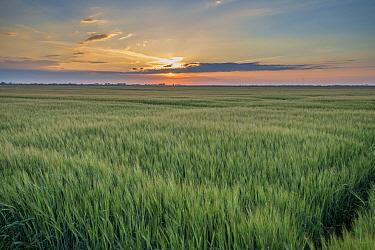 Barley (Hordeum vulgare) crop, field near coast at sunset, Anderby Creek, Lincolnshire, England, June  -  John Eveson/ FLPA