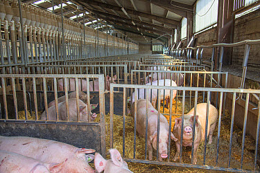 Pig farming, sows in dry sow house, on straw in indoor unit, Driffield, East Yorkshire, England, June  -  John Eveson/ FLPA