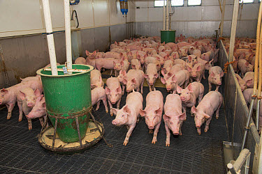 Pig farming, growing pigs, with automatic feeders on slats in indoor unit, Driffield, East Yorkshire, England, June  -  John Eveson/ FLPA