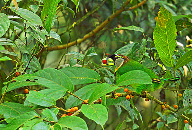 Fire-tufted Barbet (Psilopogon pyrolophus) adult, feeding on fruit, Kerinci Seblat National Park, Sumatra, Greater Sunda Islands, Indonesia, June  -  Neil Bowman/ FLPA