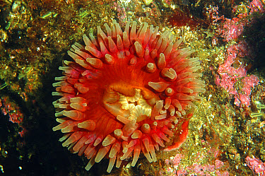 Horseman Anemone (Urticina eques) adult, with tentacles extended, on rockface in sea loch, Loch Carron, Ross and Cromarty, Highlands, Scotland, June  -  Steve Trewhella/ FLPA