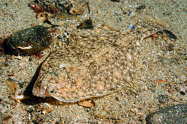 Common Dab (Limanda limanda) adult, camouflaged on sandy seabed in sea loch, Loch Carron, Ross and Cromarty, Highlands, Scotland, June  -  Steve Trewhella/ FLPA