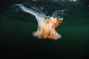Lion's Mane Jellyfish (Cyanea capillata) adult, swimming near surface in sea loch, Loch Carron, Ross and Cromarty, Highlands, Scotland, June  -  Steve Trewhella/ FLPA