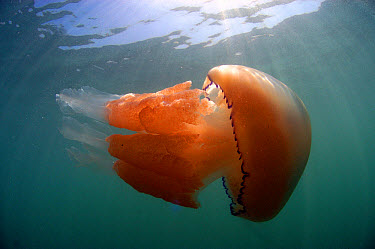 Barrel Jellyfish (Rhizostoma pulmo) adult, swimming near surface, Kimmeridge Bay, Isle of Purbeck, Dorset, England, May  -  Steve Trewhella/ FLPA