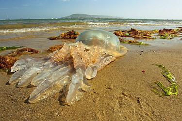 Barrel Jellyfish (Rhizostoma pulmo) dead adult, washed up on beach, Isle of Portland, Dorset, England, May  -  Steve Trewhella/ FLPA