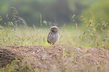 Little Owl (Athene noctua) juvenile, standing on straw bale in farmland during rainshower, West Yorkshire, England, June  -  Paul Miguel/ FLPA