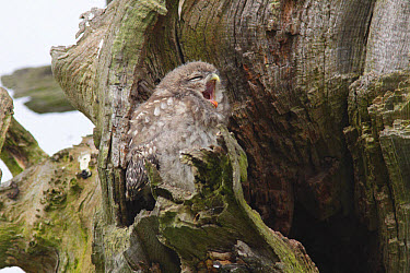 Little Owl (Athene noctua) juvenile, yawning, perched beside nest cavity on tree in farmland, West Yorkshire, England, June  -  Paul Miguel/ FLPA