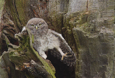 Little Owl (Athene noctua) juvenile, stretching wing and leg, perched beside nest cavity on tree in farmland, West Yorkshire, England, June  -  Paul Miguel/ FLPA