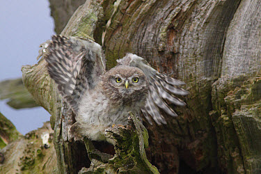 Little Owl (Athene noctua) juvenile, exercising wings, perched beside nest cavity on tree in farmland, West Yorkshire, England, June  -  Paul Miguel/ FLPA