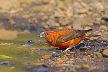Red Crossbill (Loxia curvirostra) adult male, drinking from puddle, Norfolk, England, April  -  Dickie Duckett/ FLPA
