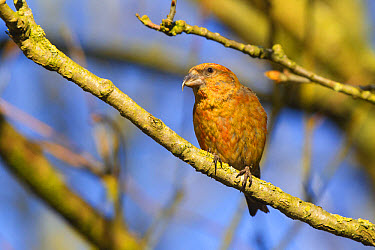 Red Crossbill (Loxia curvirostra) adult male, perched on twig, Norfolk, England, April  -  Dickie Duckett/ FLPA