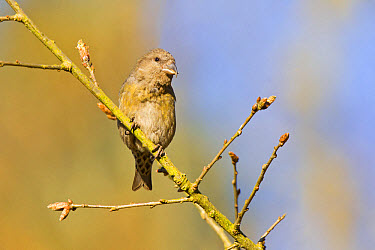 Red Crossbill (Loxia curvirostra) adult female, perched on twig, Norfolk, England, April  -  Dickie Duckett/ FLPA