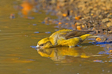Red Crossbill (Loxia curvirostra) adult female, drinking from puddle, Norfolk, England, April  -  Dickie Duckett/ FLPA