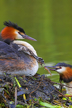 Great Crested Grebe (Podiceps cristatus) adult pair with chick, parent offering fish to chick on back of other parent at nest, River Thames, Berkshire, England, May  -  Dickie Duckett/ FLPA