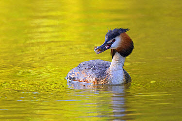 Great Crested Grebe (Podiceps cristatus) adult, with fish in beak, swimming on river, River Thames, Berkshire, England, May  -  Dickie Duckett/ FLPA