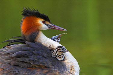 Great Crested Grebe (Podiceps cristatus) adult with chicks, one chick feeding on fish, on back of parent at nest, River Thames, Berkshire, England, May  -  Dickie Duckett/ FLPA