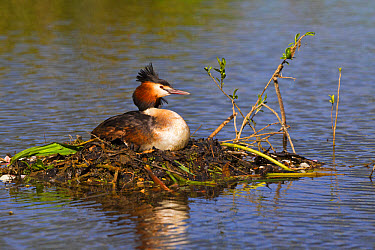 Great Crested Grebe (Podiceps cristatus) adult, sitting at nest on river backwater, River Thames, Berkshire, England, April  -  Dickie Duckett/ FLPA