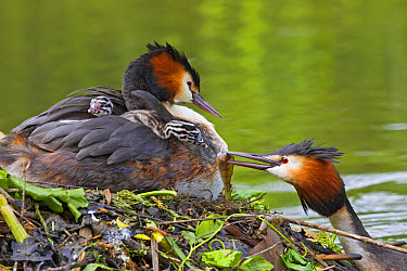 Great Crested Grebe (Podiceps cristatus) adult pair with chicks, parent offering fish to chick on back of other parent at nest, River Thames, Berkshire, England, May  -  Dickie Duckett/ FLPA