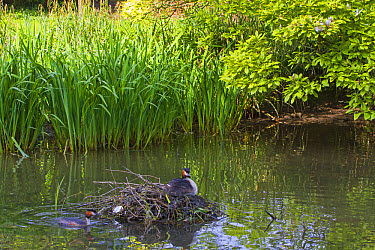 Great Crested Grebe (Podiceps cristatus) adult pair with chick, at nest in river backwater habitat, River Thames, Berkshire, England, May  -  Dickie Duckett/ FLPA
