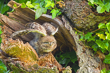 Little Owl (Athene noctua) young, stretching wings, perched at nesthole entrance in morning, Oxfordshire, England, June  -  Dickie Duckett/ FLPA