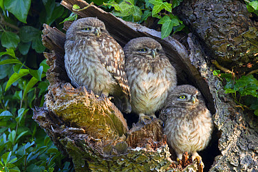 Little Owl (Athene noctua) three young, perched at nesthole entrance in early morning, Oxfordshire, England, June  -  Dickie Duckett/ FLPA