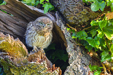 Little Owl (Athene noctua) young, perched at nesthole entrance in early morning, Oxfordshire, England, June  -  Dickie Duckett/ FLPA