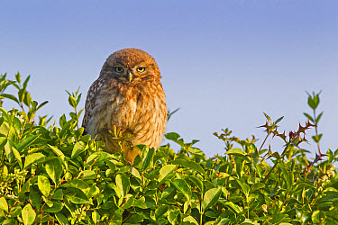 Little Owl (Athene noctua) young, perched on hedge near nestsite in early morning, Oxfordshire, England, June  -  Dickie Duckett/ FLPA