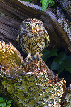 Little Owl (Athene noctua) adult, perched at nesthole entrance in early morning, Oxfordshire, England, June  -  Dickie Duckett/ FLPA