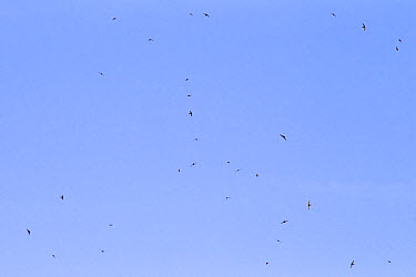 Common Swift (Apus apus) flock, in flight, feeding, Castilla y Leon, Spain, June  -  Roger Tidman/ FLPA