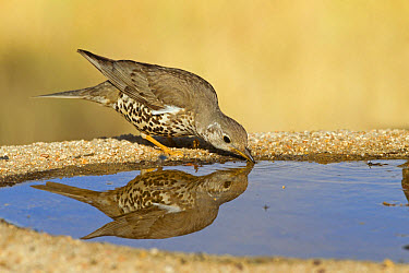 Mistle Thrush (Turdus viscivorus) adult, drinking at pool, Castilla y Leon, Spain, May  -  Roger Tidman/ FLPA
