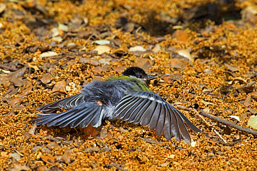 Great Tit (Parus major) adult, sunning on ground, Castilla y Leon, Spain, June  -  Roger Tidman/ FLPA