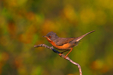 Subalpine Warbler (Sylvia cantillans) adult male, perched on twig, Castilla y Leon, Spain, May  -  Roger Tidman/ FLPA