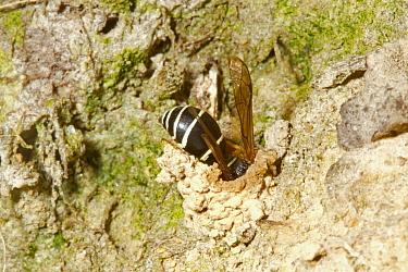 Fen Mason Wasp (Odynerus simillimus) adult, entering nest chimney, Sutton Fen RSPB Reserve, The Broads, Norfolk, England, July  -  Roger Tidman/ FLPA