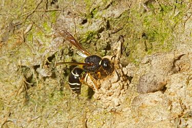 Fen Mason Wasp (Odynerus simillimus) adult, dismantling chimney entrance to seal chamber, Sutton Fen RSPB Reserve, The Broads, Norfolk, England, July  -  Roger Tidman/ FLPA