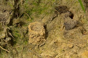Fen Mason Wasp (Odynerus simillimus) nest chimney, Sutton Fen RSPB Reserve, The Broads, Norfolk, England, July  -  Roger Tidman/ FLPA