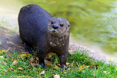 Spotted-necked Otter (Hydrictis maculicollis) adult, standing at edge of water (captive)  -  Mark Newman/ FLPA