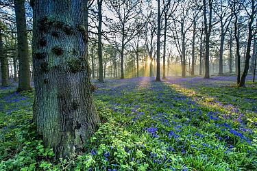Bluebell (Endymion non-scriptus) flowering mass, growing in oak woodland habitat at dawn, Norfolk, England, April  -  Mike Powles/ FLPA