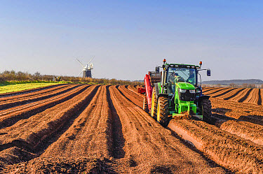 Potato (Solanum tuberosum) crop, John Deere tractor with mechanical equipment used to create soil tilth and furrows prior to planting tubers, with th century windmill in background, Burnham Overy Stai...  -  Mike Powles/ FLPA