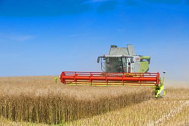 Oilseed Rape (Brassica napus) crop, Claas Lexion combine harvester harvesting field, Norfolk, England, July  -  Mike Powles/ FLPA