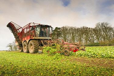 Sugar Beet (Beta vulgaris) crop, self-propelled harvester harvesting field, Norfolk, England, January  -  Mike Powles/ FLPA