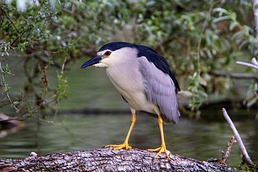 Black crowned night Heron on Willow Tree at Lake Kerkini, Northern Greece  -  David Hosking/ FLPA